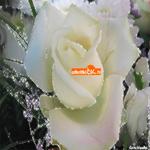 Белая роза от белой души
