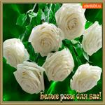 Белые розы для вас