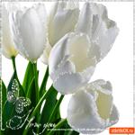 Белые тюльпаны для тебя