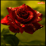 Для тебя красивая роза