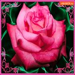 Для тебя нежный бутон розы