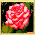 Для тебя роза алая