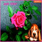 Для тебя роза с большой любовью