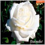 Для тебя белая роза