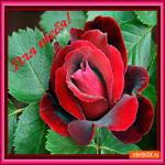 Для тебя красивая роза эта