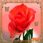 Для тебя прекрасная роза от меня