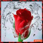 Для тебя волшебная роза