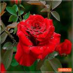 Эта красивая роза только для тебя