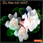 Эти белые розы для тебя