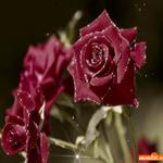 Гиф розы