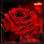 Живая роза для тебя