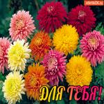 Хризантемы для тебя