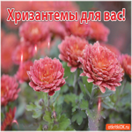 Открытка с хризантемами
