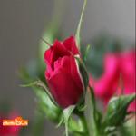 Красиво роза