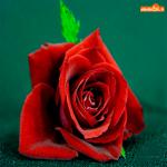 Красная роза от души с любовью