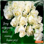 Охапку белых роз дарю