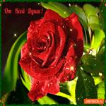 От всей души эта красная роза