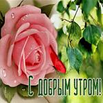 Открытка доброе утро с розовой розой