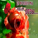 Открытка за красоту мы любим розы