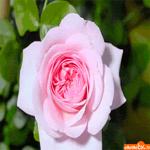 Прекрасная роза только для тебя