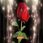 Роза бесплатно