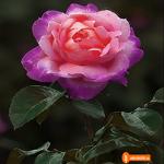 Роза gif