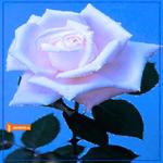 Роза на синем фоне
