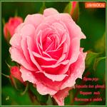 Роза нежности и любви