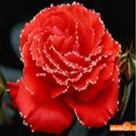 Открытка роза