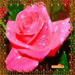 Розовая роза тебе в подарок
