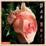 Розовая роза для вас