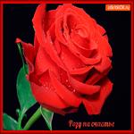 Розу красивую тебе на счастье