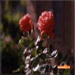 Русские розы