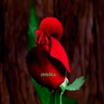 Открытка с цветущей розой