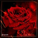 Самая красивая роза в мире