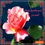 Самая красивая роза тебе