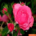 Самые необычные розы тебе