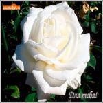 Шикарная белая роза