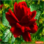 Шикарная роза тебе