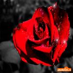 Свежая роза тебе на счастье