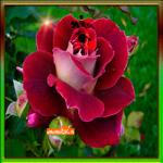 Танец роз