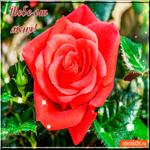 Тебе от меня шикарная роза