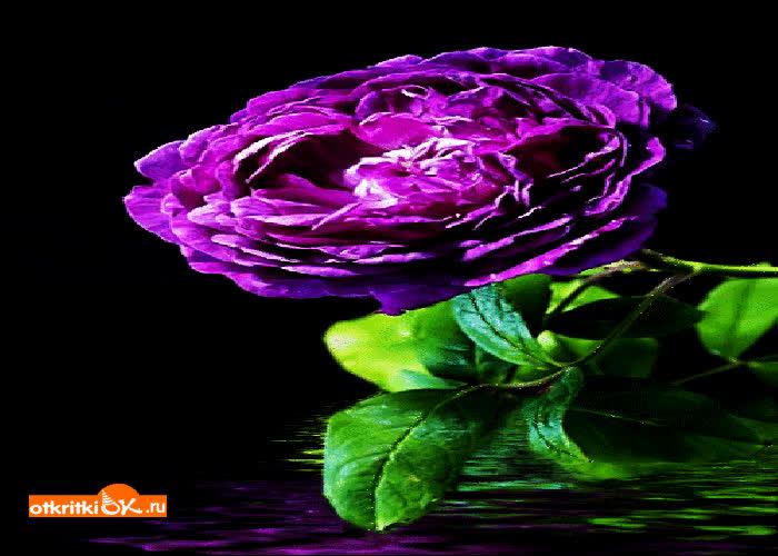Картинка фиолетовая роза картинка