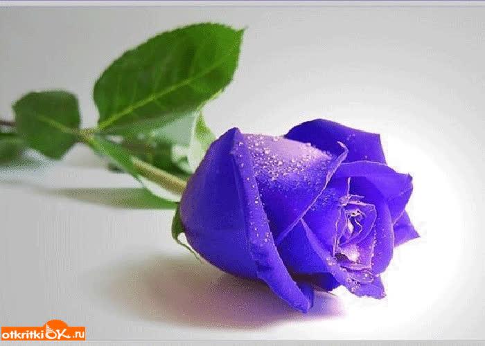 Картинка голубая роза фото