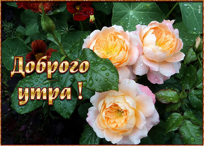 Картинка картинка доброе утро со свежими розами
