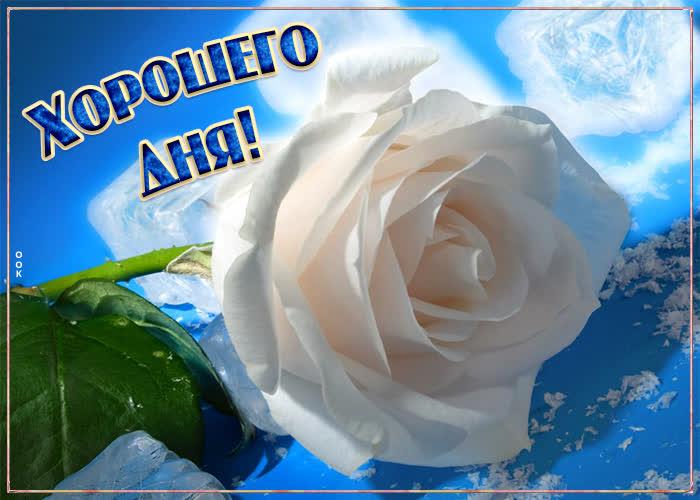 Картинка картинка хорошего дня с белой розой
