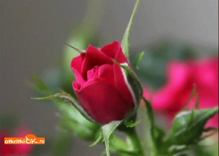 Картинка красиво роза
