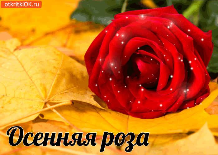 Картинка осенняя роза