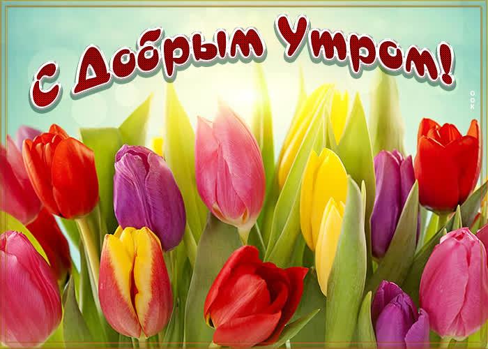 Картинка открытка доброе утро с тюльпанами