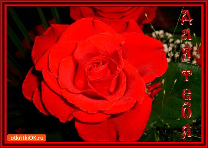 Картинка самая нежная роза для тебя